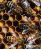 PROPOLIS atau Damar Lebah